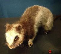 """本地科学家发现""""巨云鼠"""" 系菲独有特种2000年前已绝迹"""
