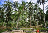 菲律宾今年椰子油出口将减少